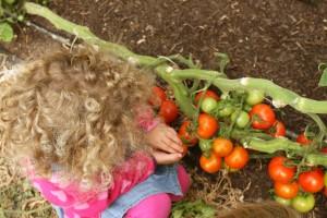 Tomaten plukken